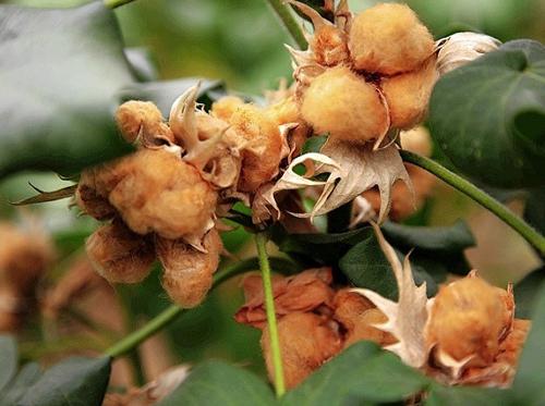 对于加快棉花产业结构调整
